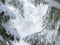 pine trees with snow on them